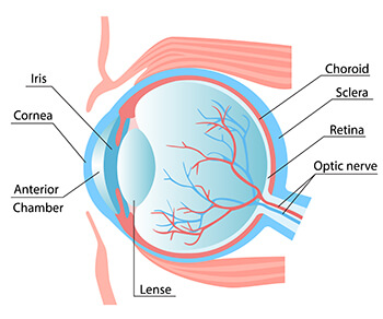 Chart showing the anatomy of the cornea